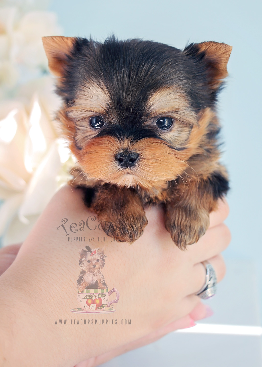Puppy For Sale Teacup Puppies #281 Teacup Morkie