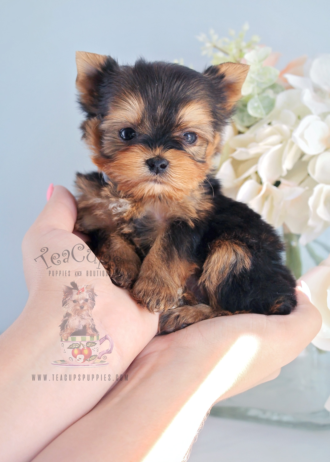 Teacup Morkie Puppy For Sale Teacup Puppies #281