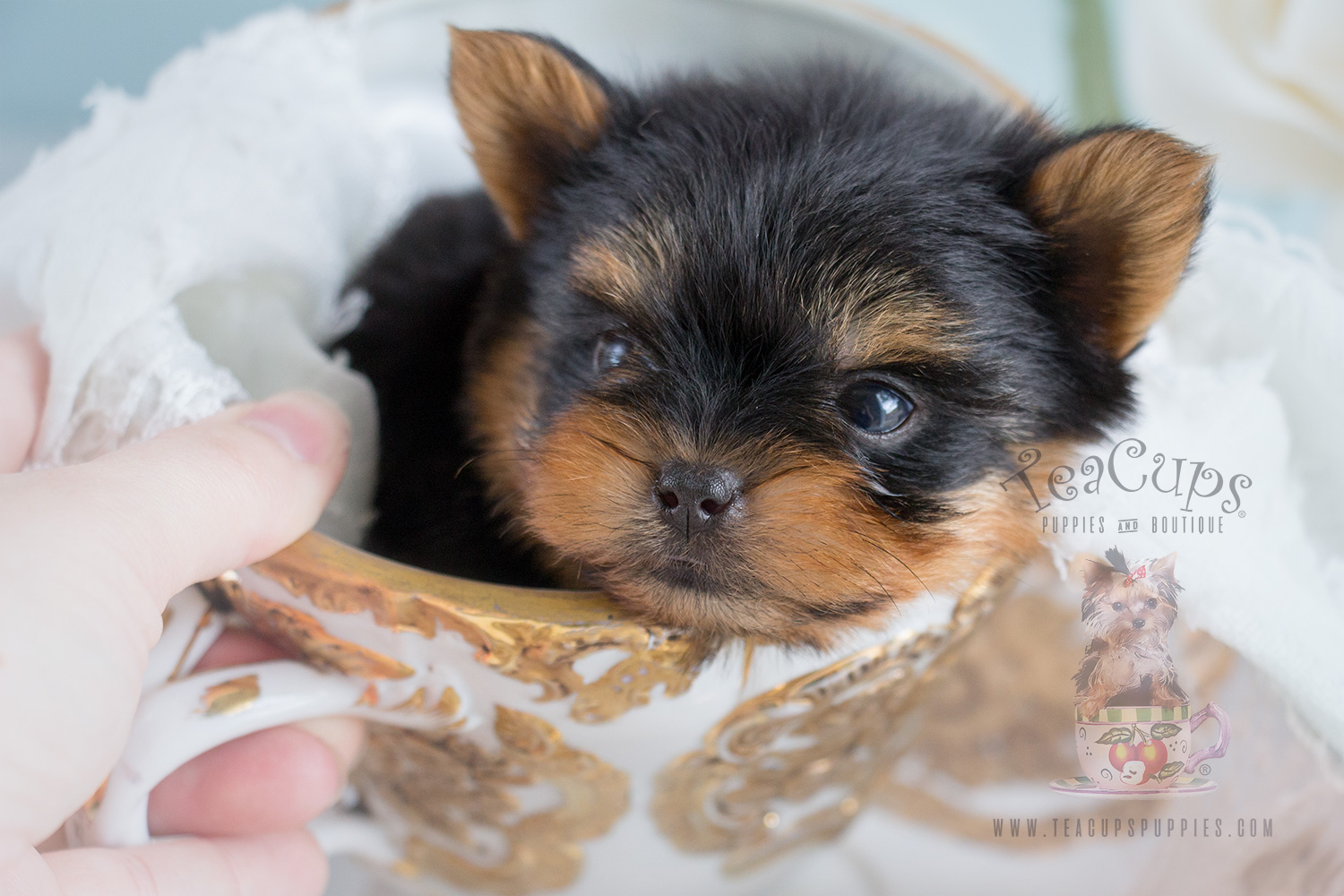 Yorkie Puppy For Sale #266 Teacup
