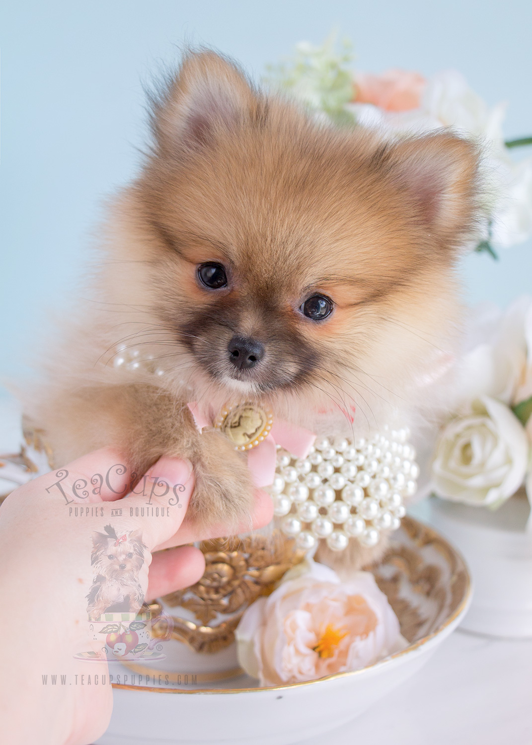 For Sale 260 Tiny Pomeranian Puppy