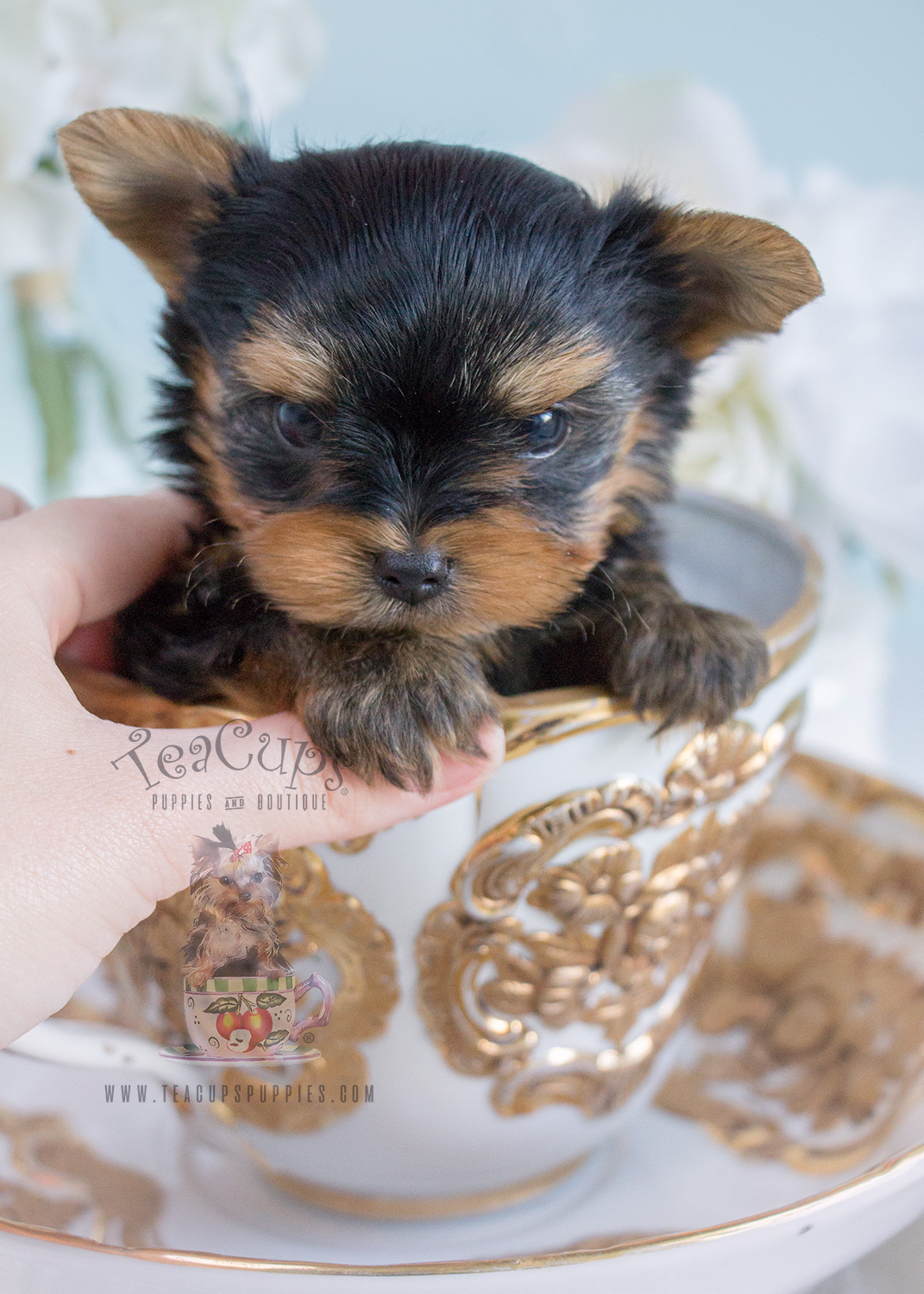 For Sale Tiny Teacup Yorkie