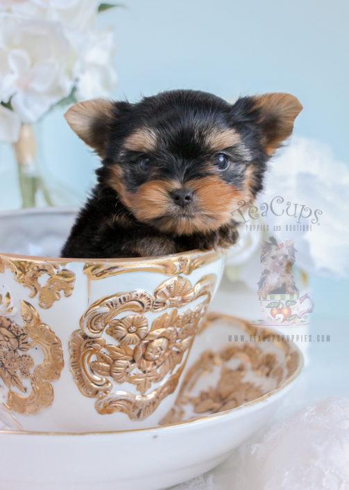 For Sale Tiny Teacup Yorkie
