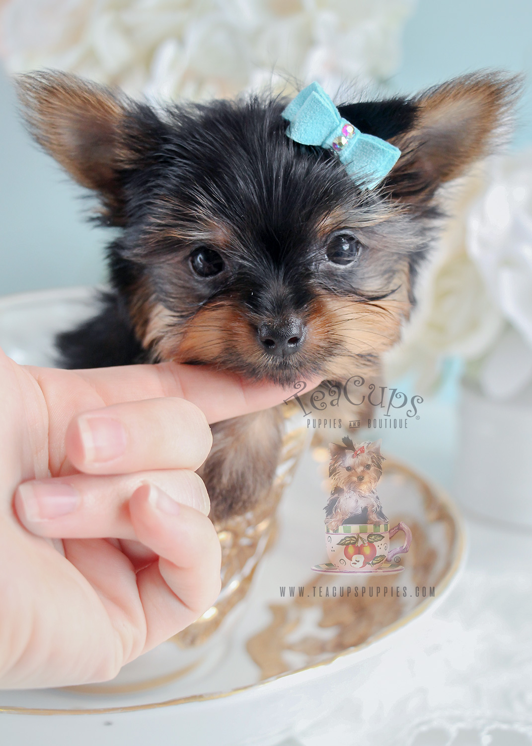 Toy Yorkies And Teacup Yorkies Teacups Puppies Boutique