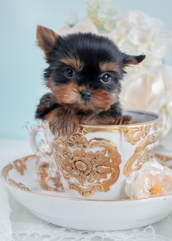 Puppy For Sale #275 Tiny Yorkie