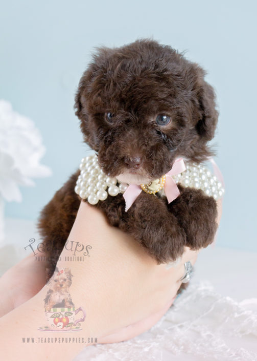 Teacup Puppies Toy Poodles For Sale 255