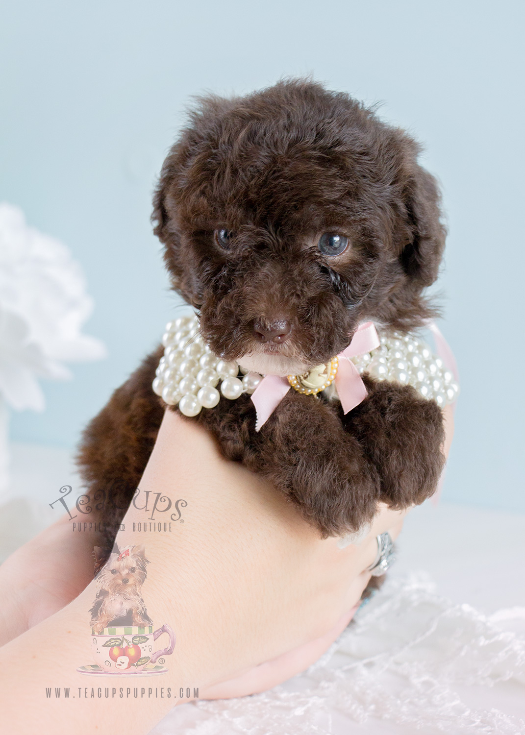 red toy poodles puppies for sale red toy poodle breeders florida wow blog 6248