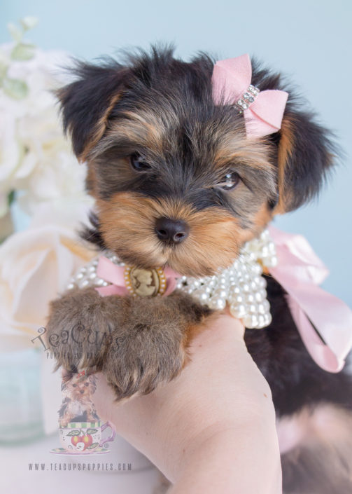 For Sale 259 Teacup Puppies Toy Yorkie Puppy