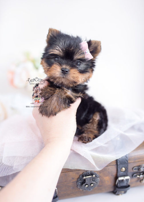 Yorkie Puppy by TeaCups