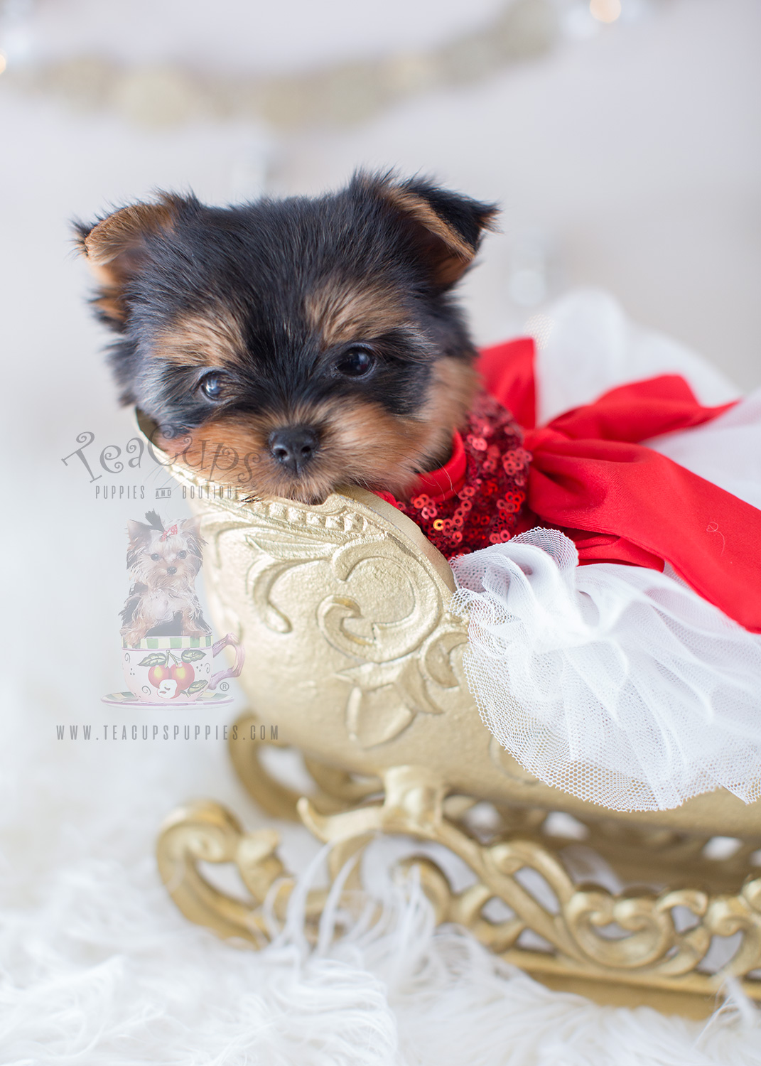 For Sale Teacup Puppies #319 Beautful Yorkie Puppy