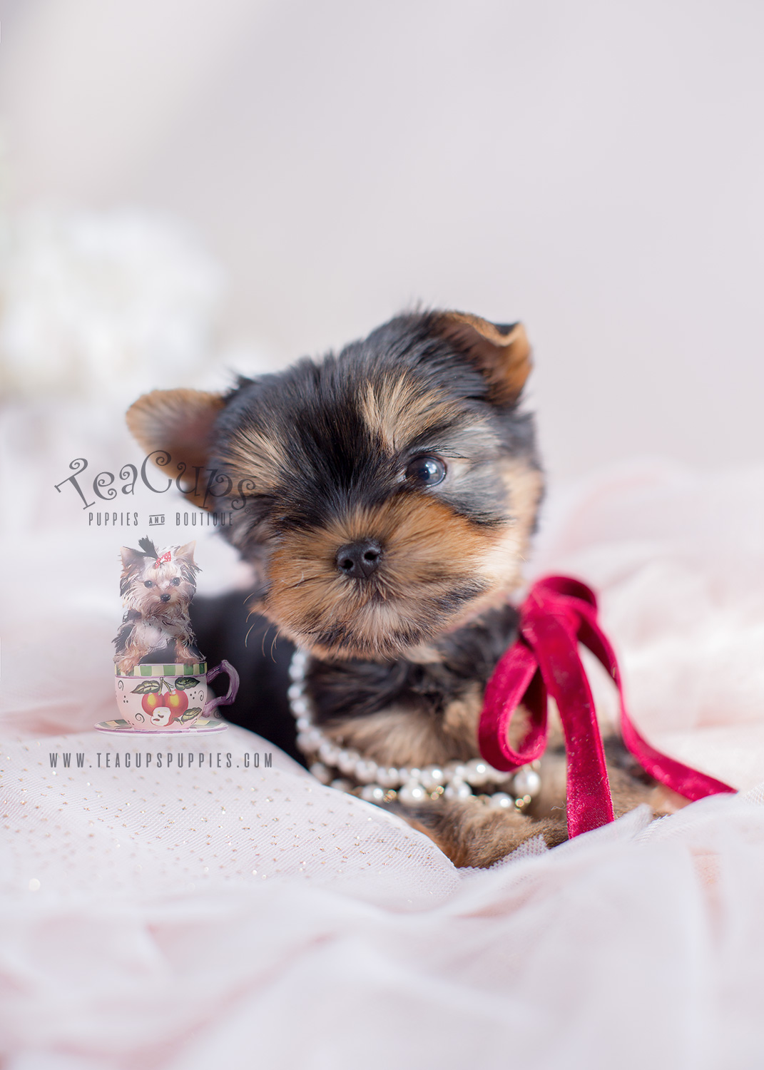 Yorkie Puppies For Sale Teacup Puppy Boutique