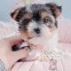 Puppy For Sale #287 Biewer Yorkie
