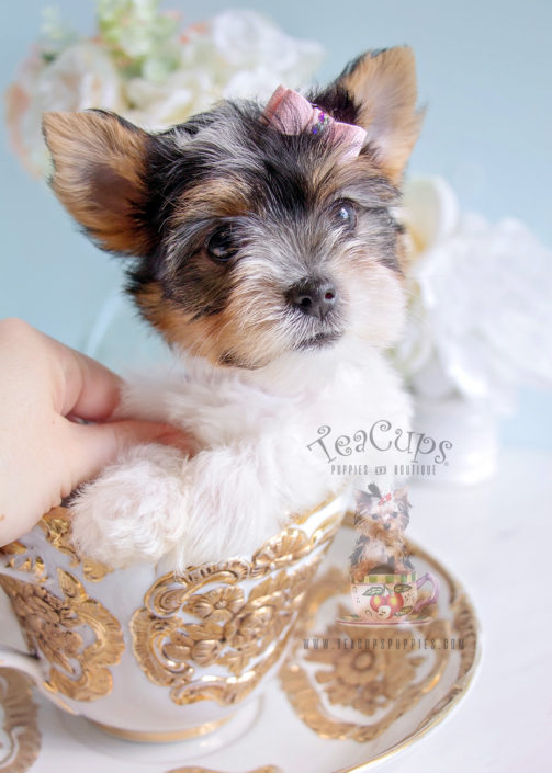 For Sale #288 Biewer Yorkie Puppy