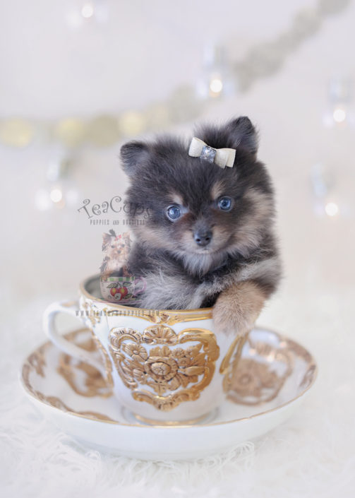For Sale #312 Teacup Puppies Blue Pomeranian Puppy