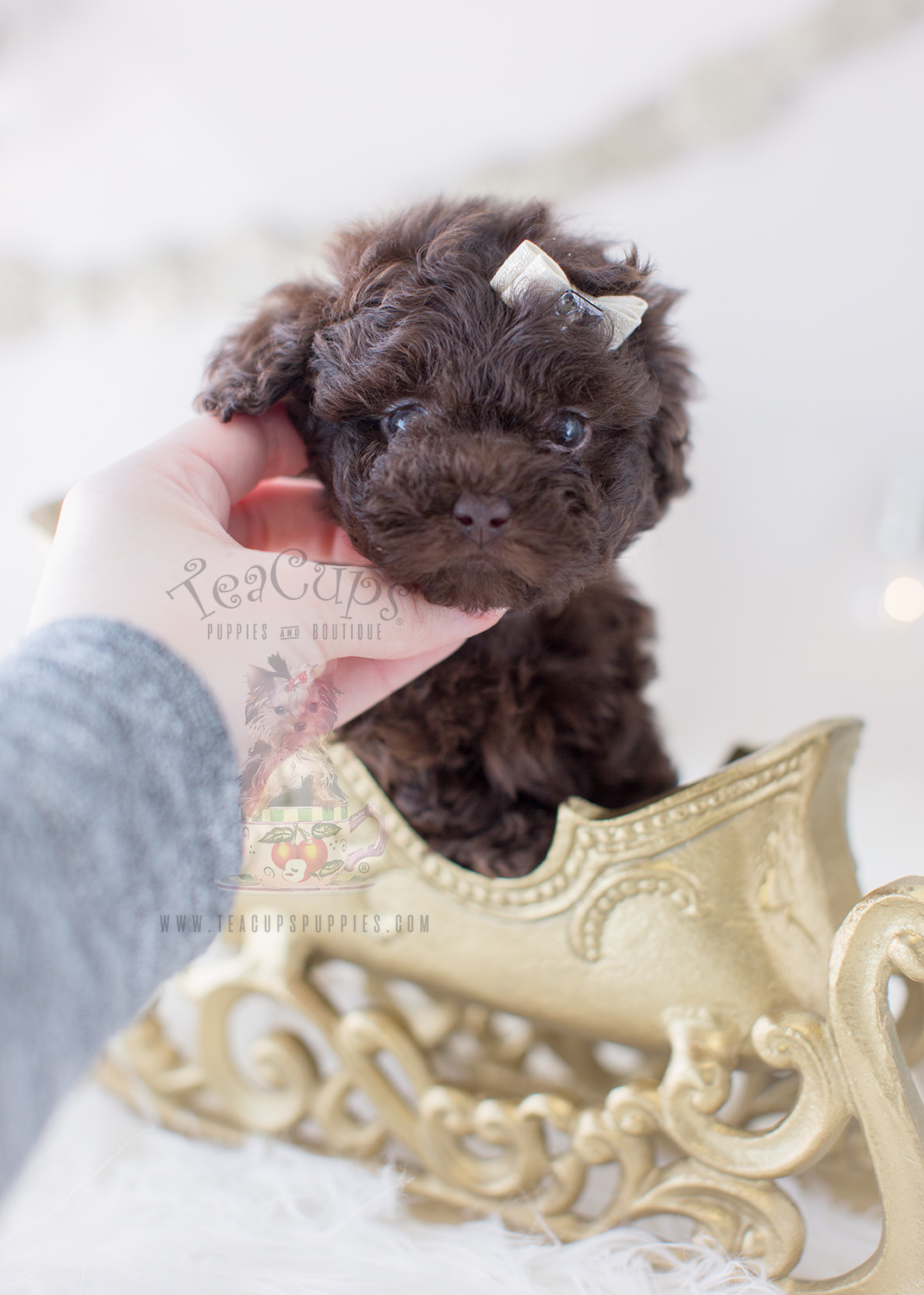 Chocolate Poodle Puppy For Sale #292 Teacup Puppies