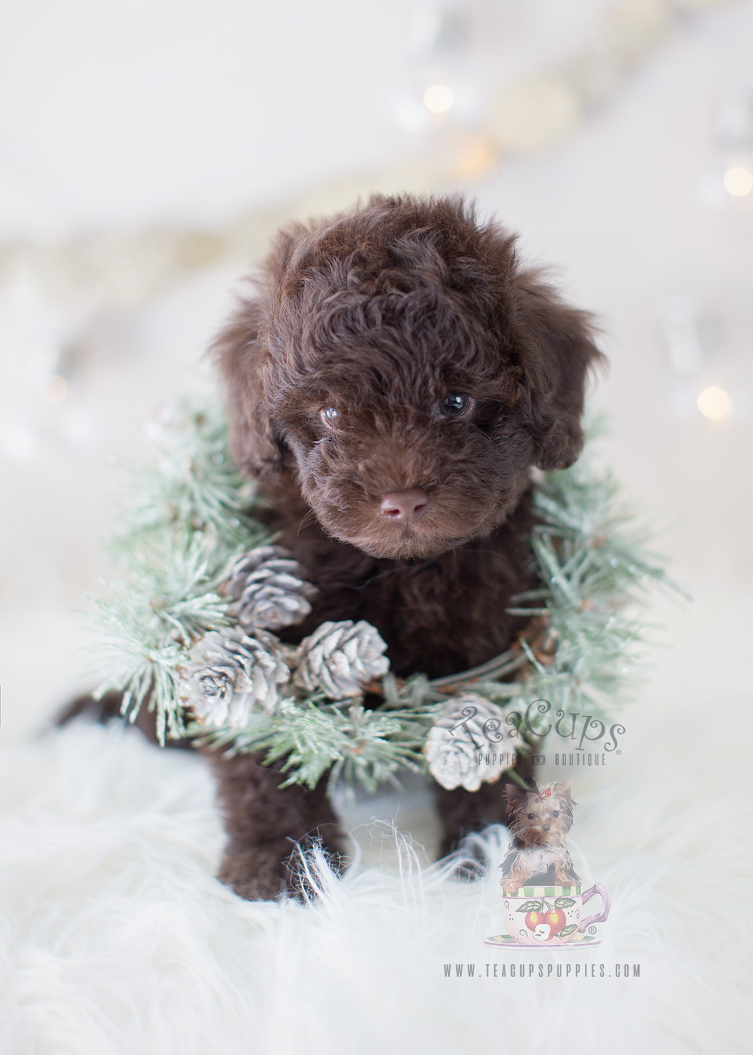 For Sale #295 Chocolate Poodle Puppy