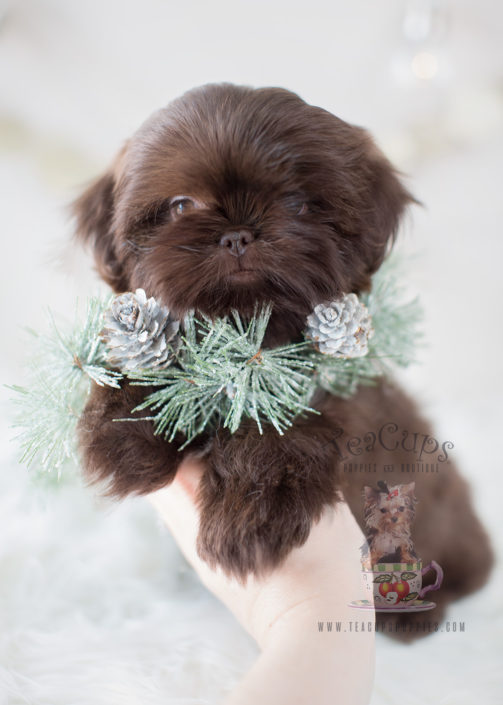 Puppy For Sale #303 Teacup Puppies Chocolate Shih Tzu