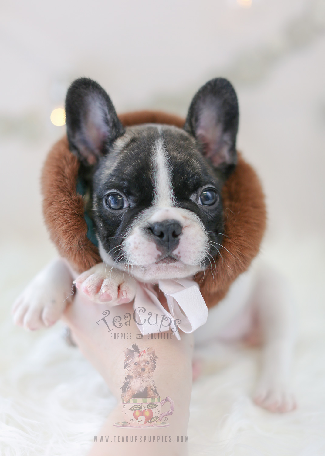 French Bulldog Puppy For Sale #302 Teacup Puppies