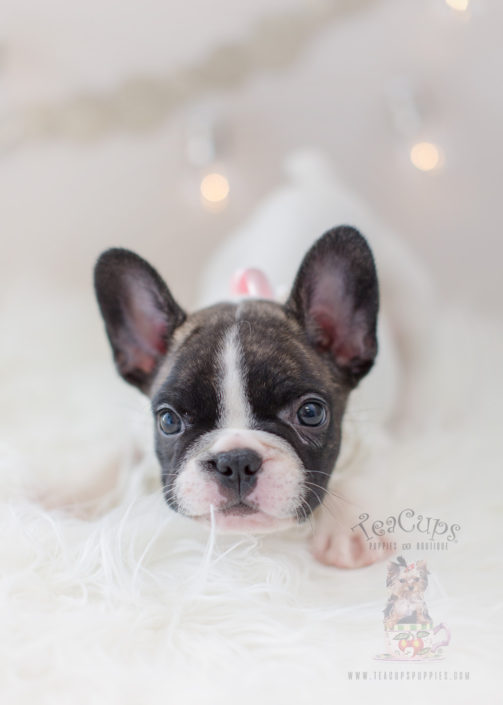 For Sale #302 Teacup Puppies French Bulldog Puppy