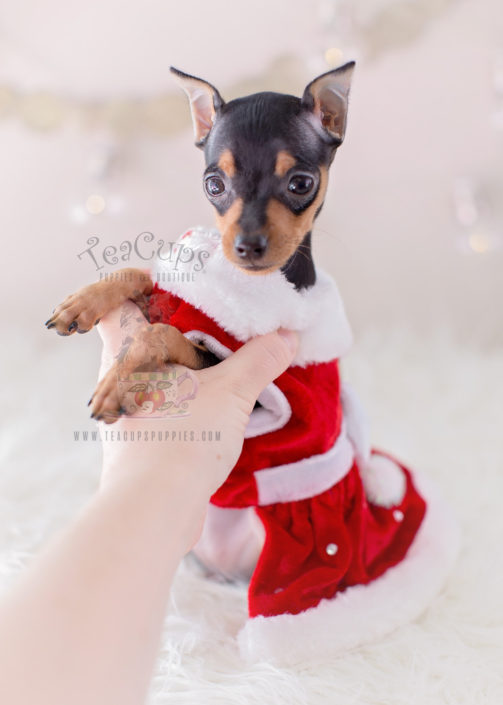 Mini Pinscher Puppy For Sale Teacups Puppies