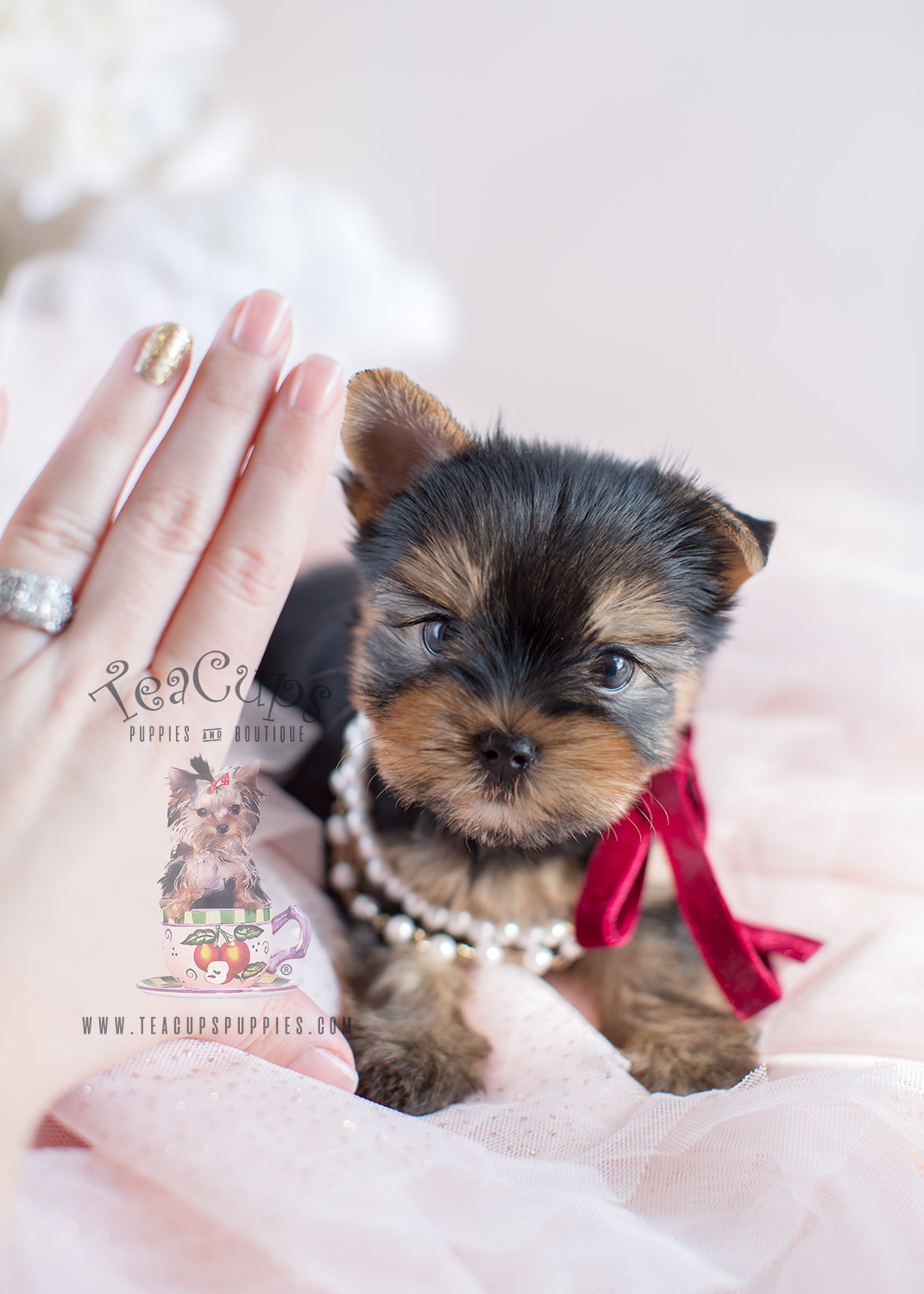 Tiny Yorkie Puppies For Sale by Teacup Puppies