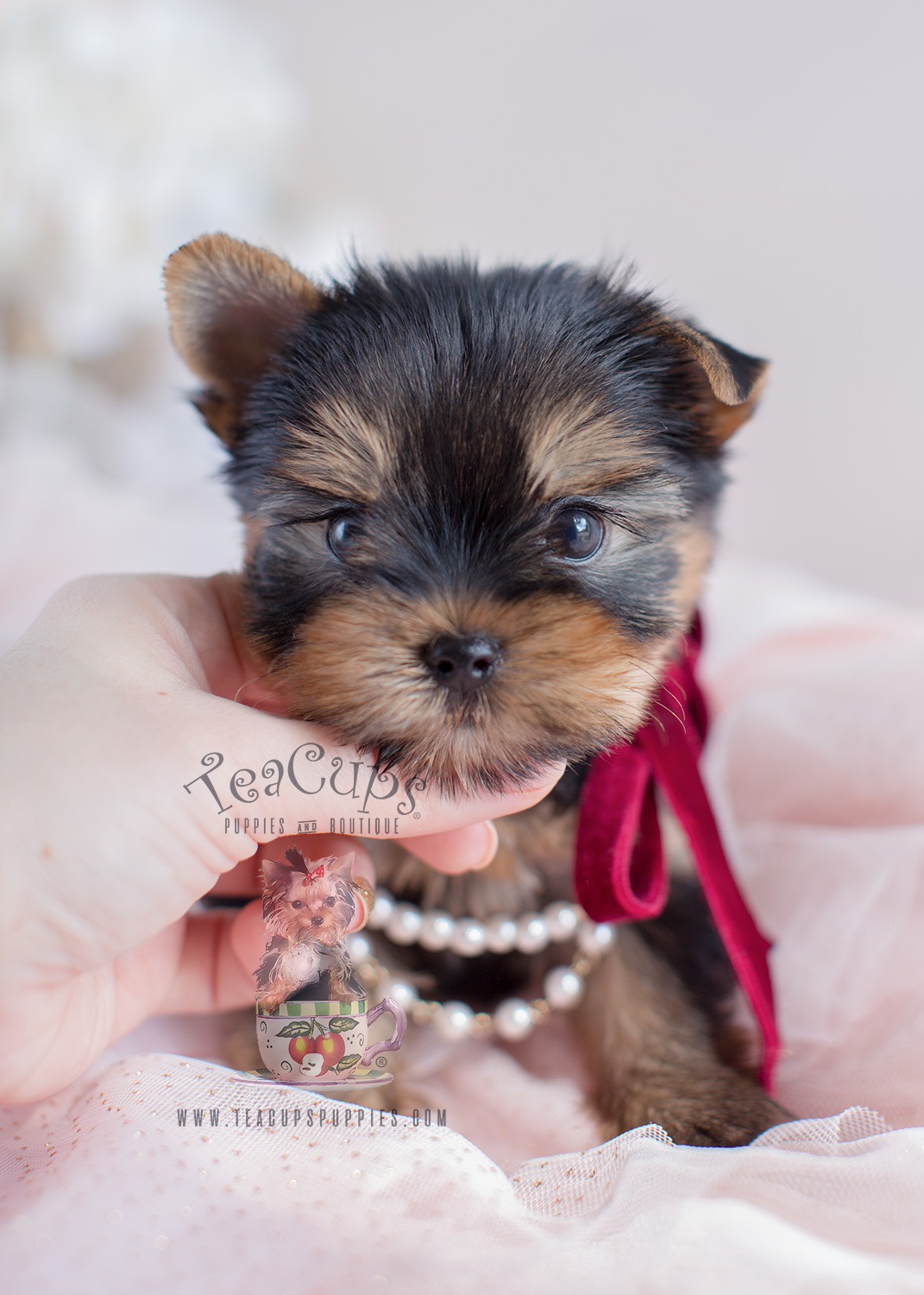 Teacup Yorkies and Yorkie Puppies For Sale