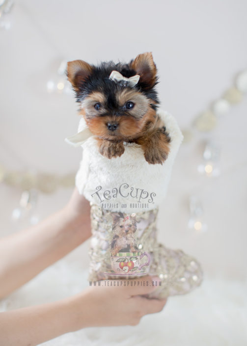 For Sale #298 Teacup Puppies Yorkie Puppy For Sale