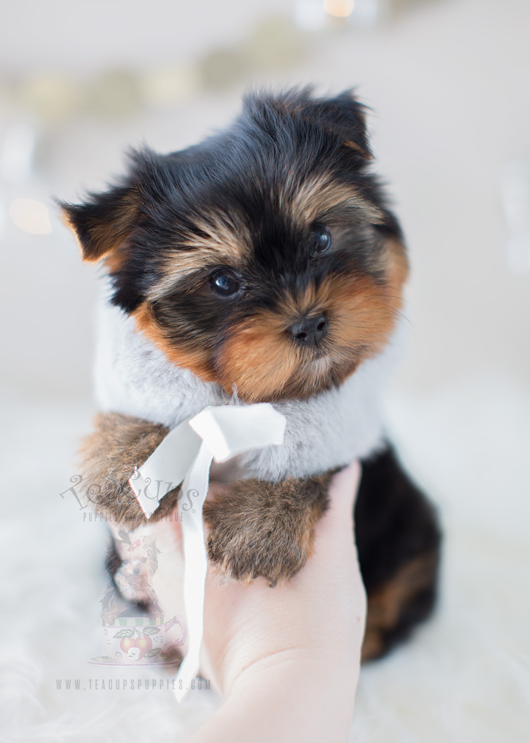 Puppy For Sale #297 Teacup Puppies Yorkie Puppy
