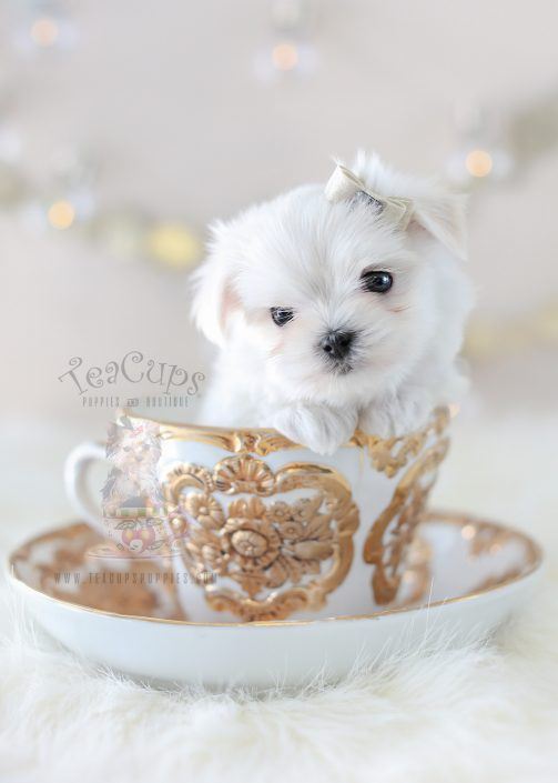 TeaCup Puppies Maltese Puppy