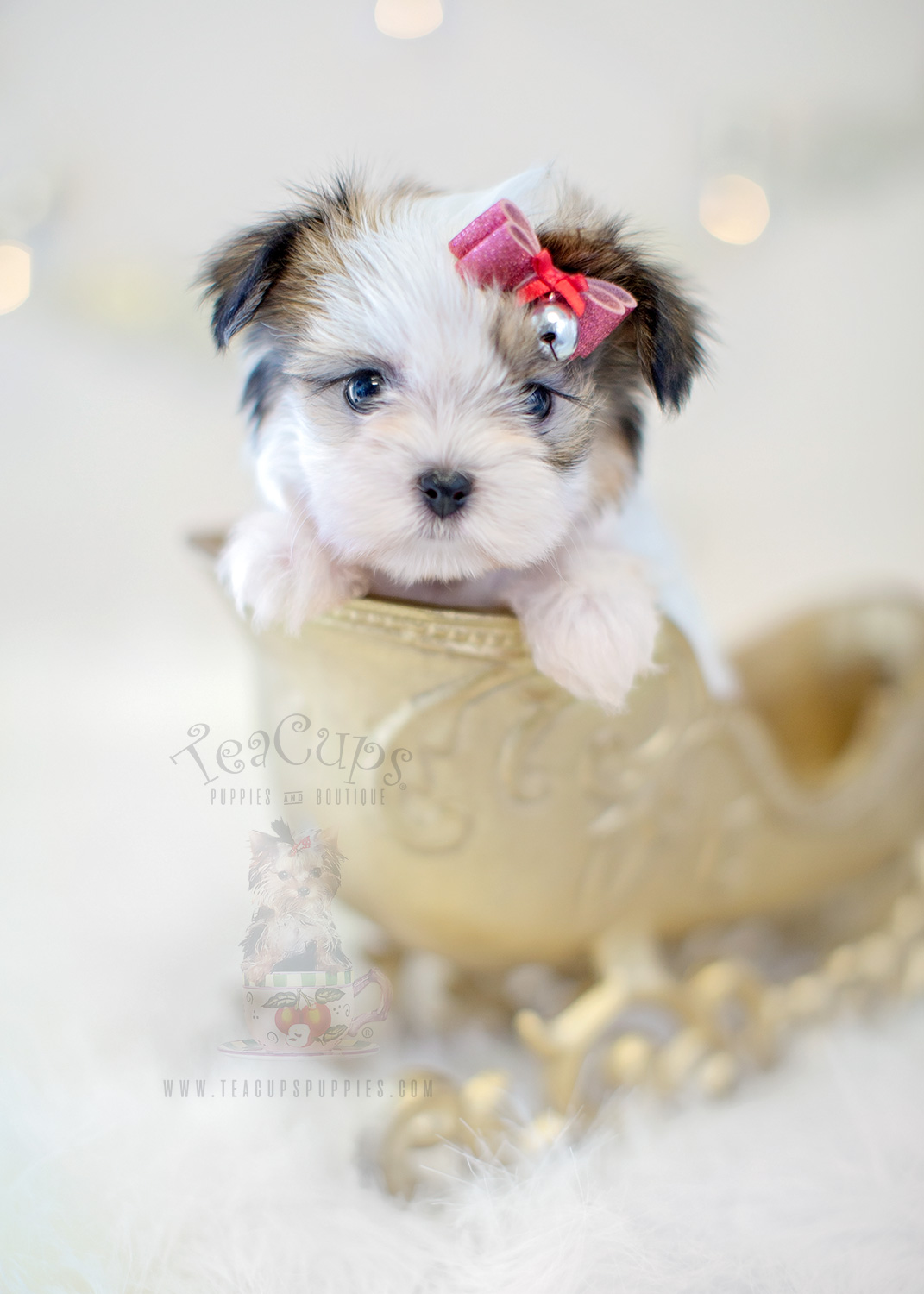 teacup poodles for sale in michigan