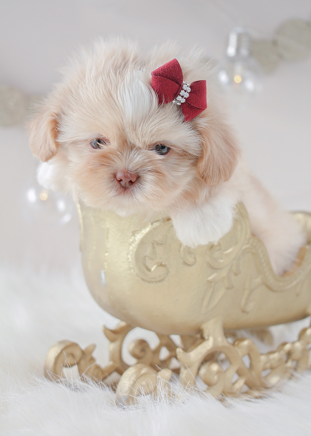 For Sale #329 Teacup Puppies Shih Tzu Puppy