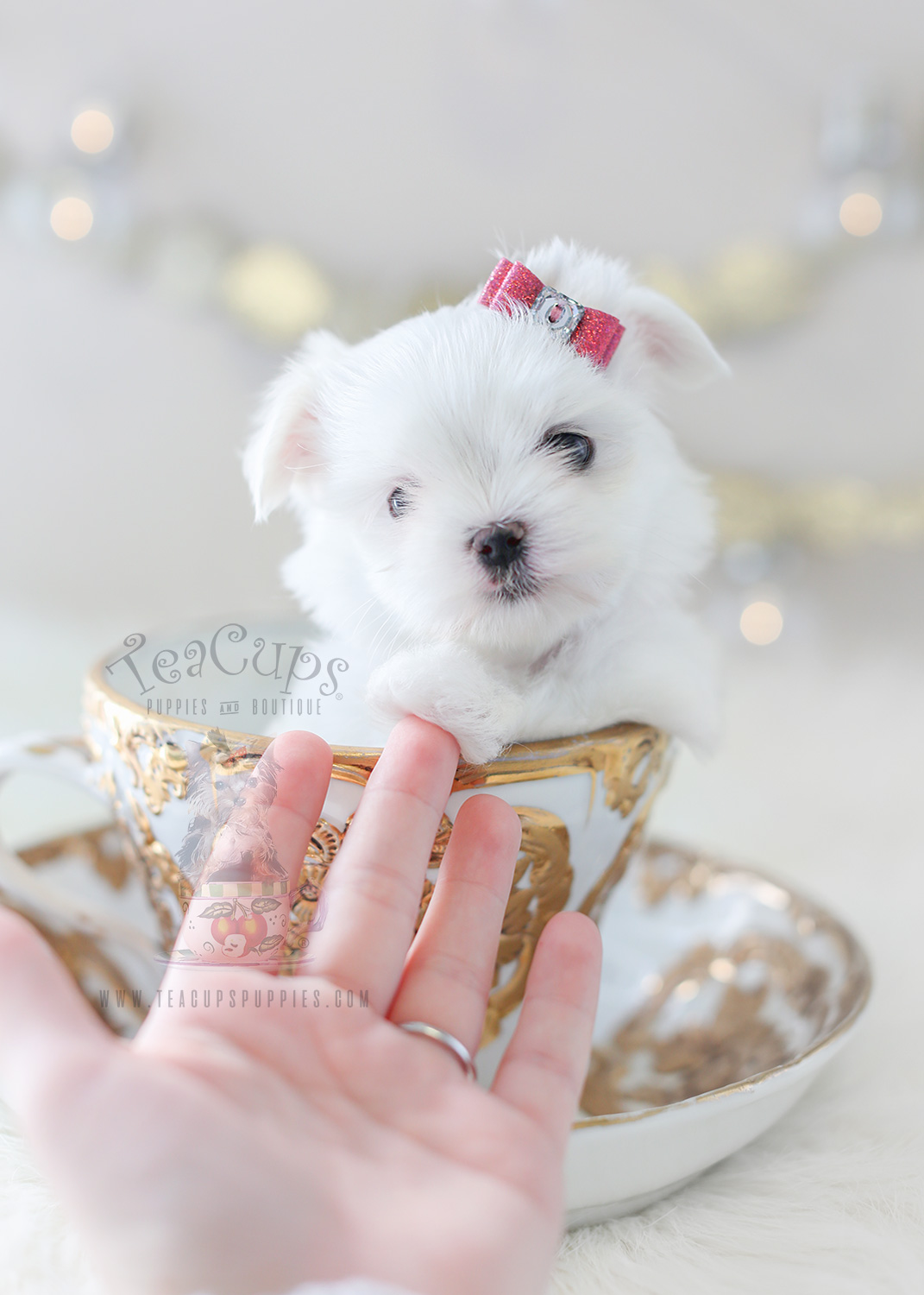 Teacup Puppies TeaCup Maltese Puppy