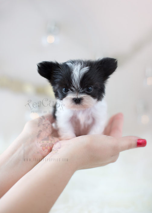 Teacup Miki Puppies For Sale