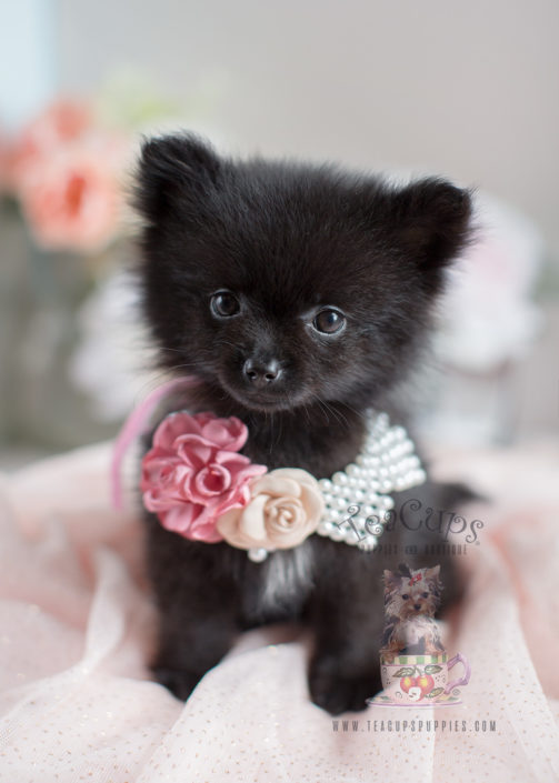 Teacup Pomeranians and Toy Pomeranian Puppies For Sale