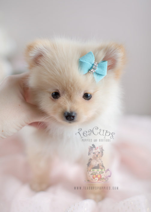 Pomeranian Puppy For Sale South Florida