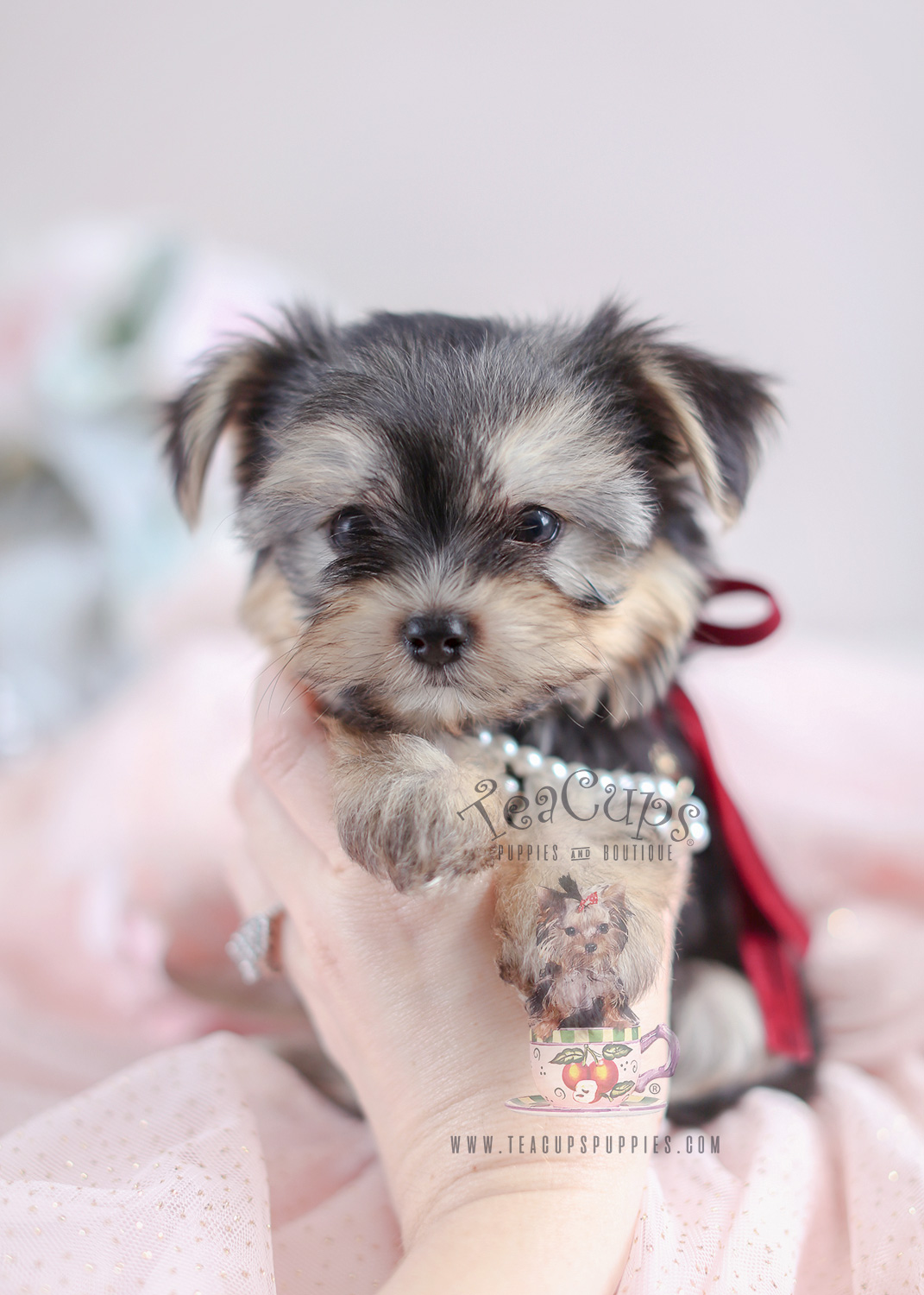 Teacup Puppies and Morkies For Sale in South Florida