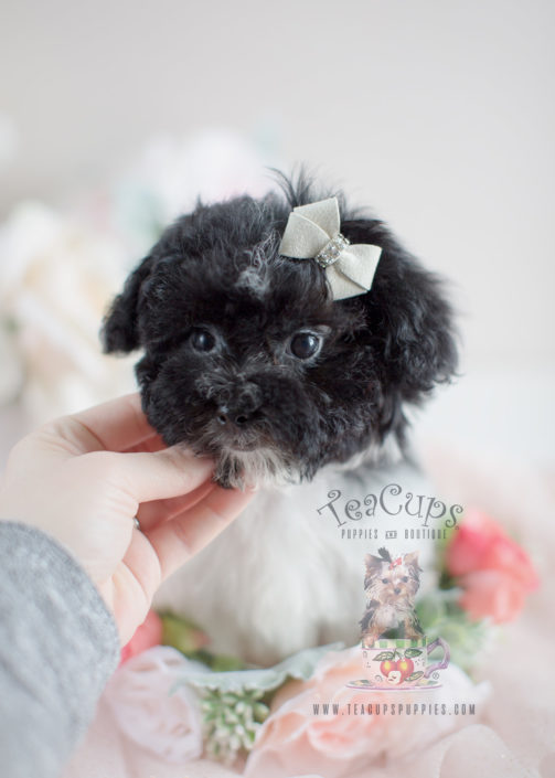 Havanese Puppies For Sale by TeaCups, Puppies & Boutique