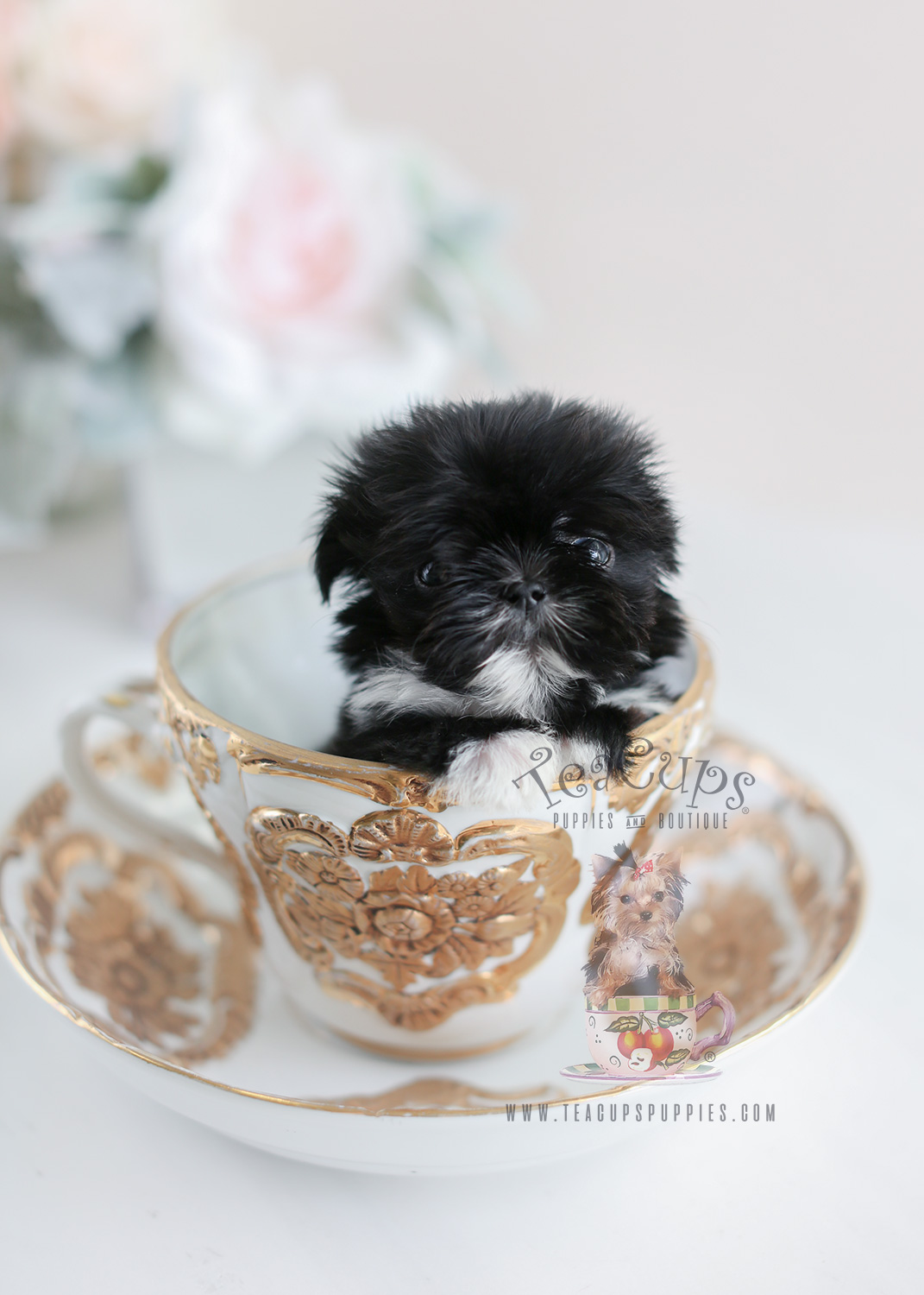 The Cutest Little Shih Tzu Puppies For