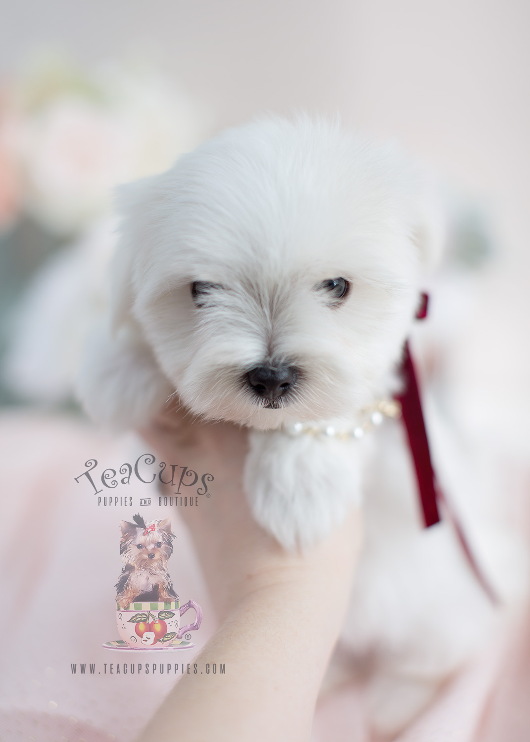 Maltese Puppies For Sale Florida