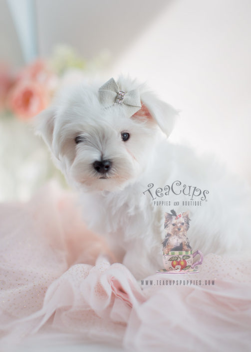 Maltese Puppies For Sale Teacup Puppies