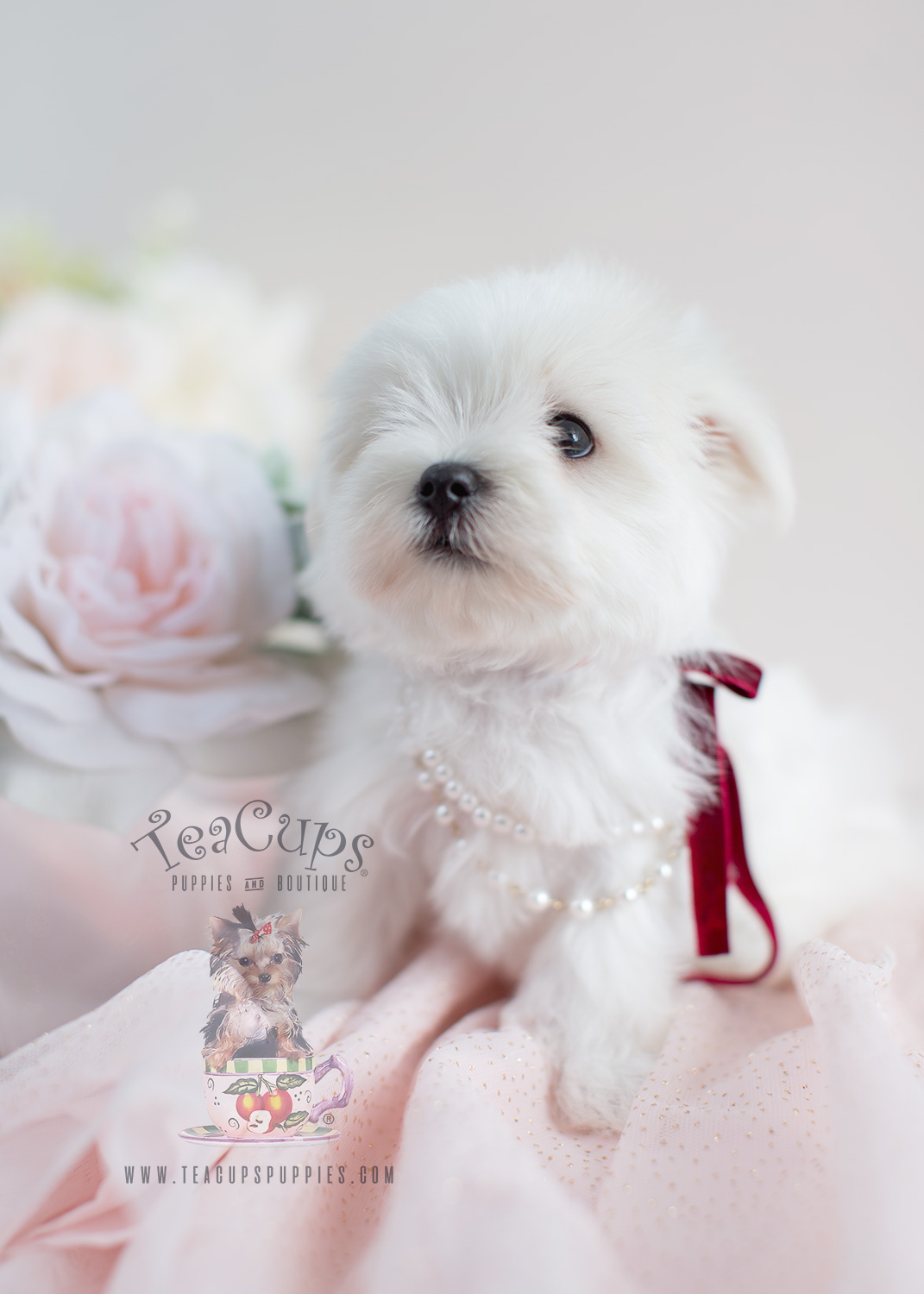 Beautiful White Maltese Puppy For Sale