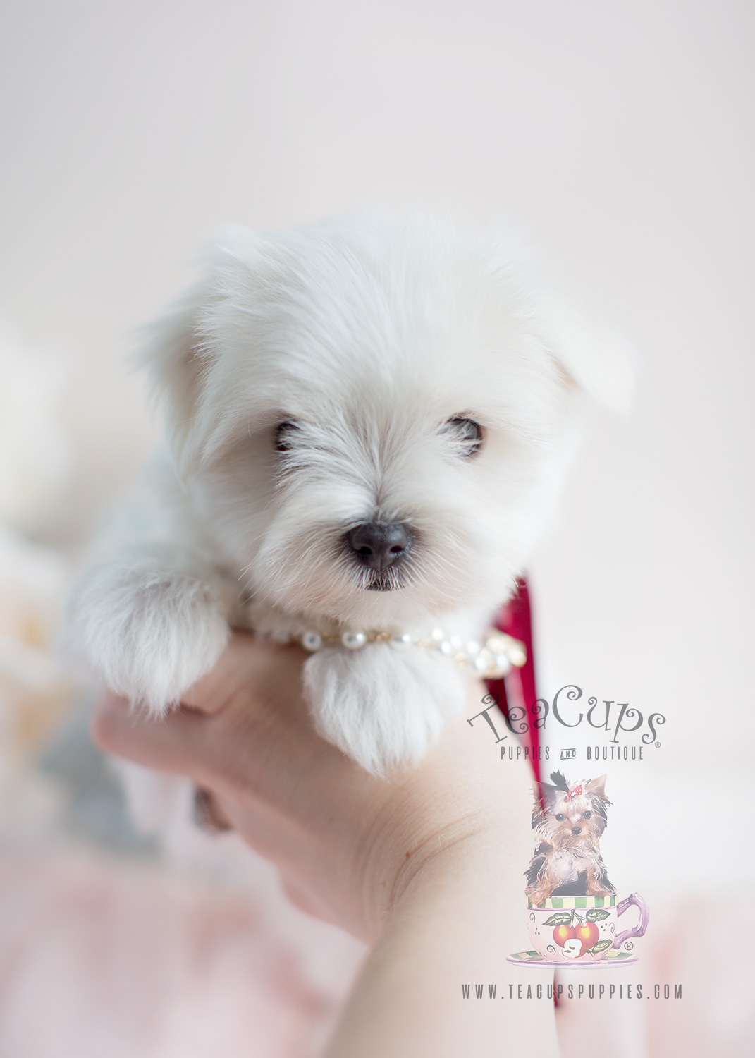 Maltese Puppies by Teacup Puppies of South Florida