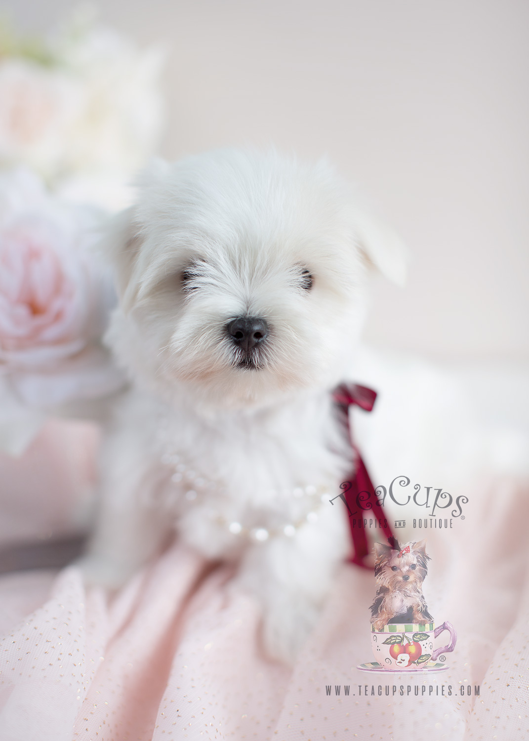 Maltese Breeder Puppies For Sale