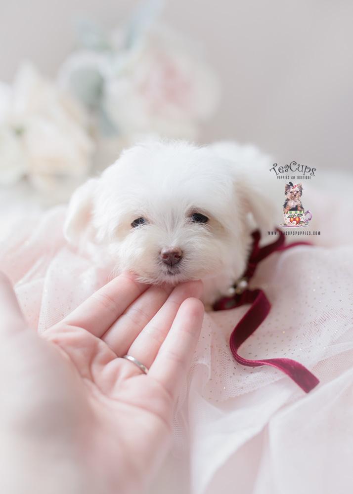 Maltese puppy for sale in South Florida