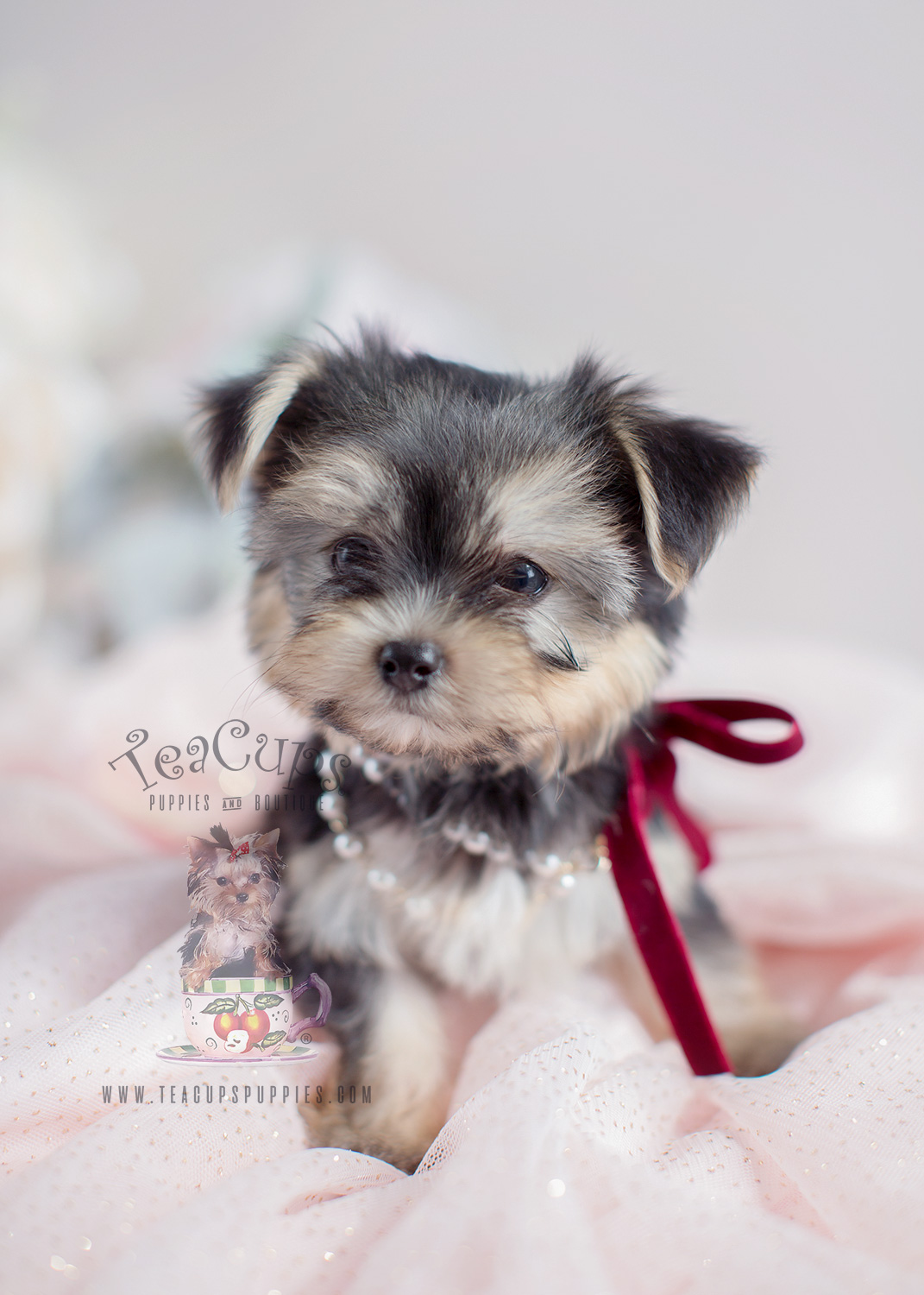 Morkie Puppies For Sale Teacup Puppies
