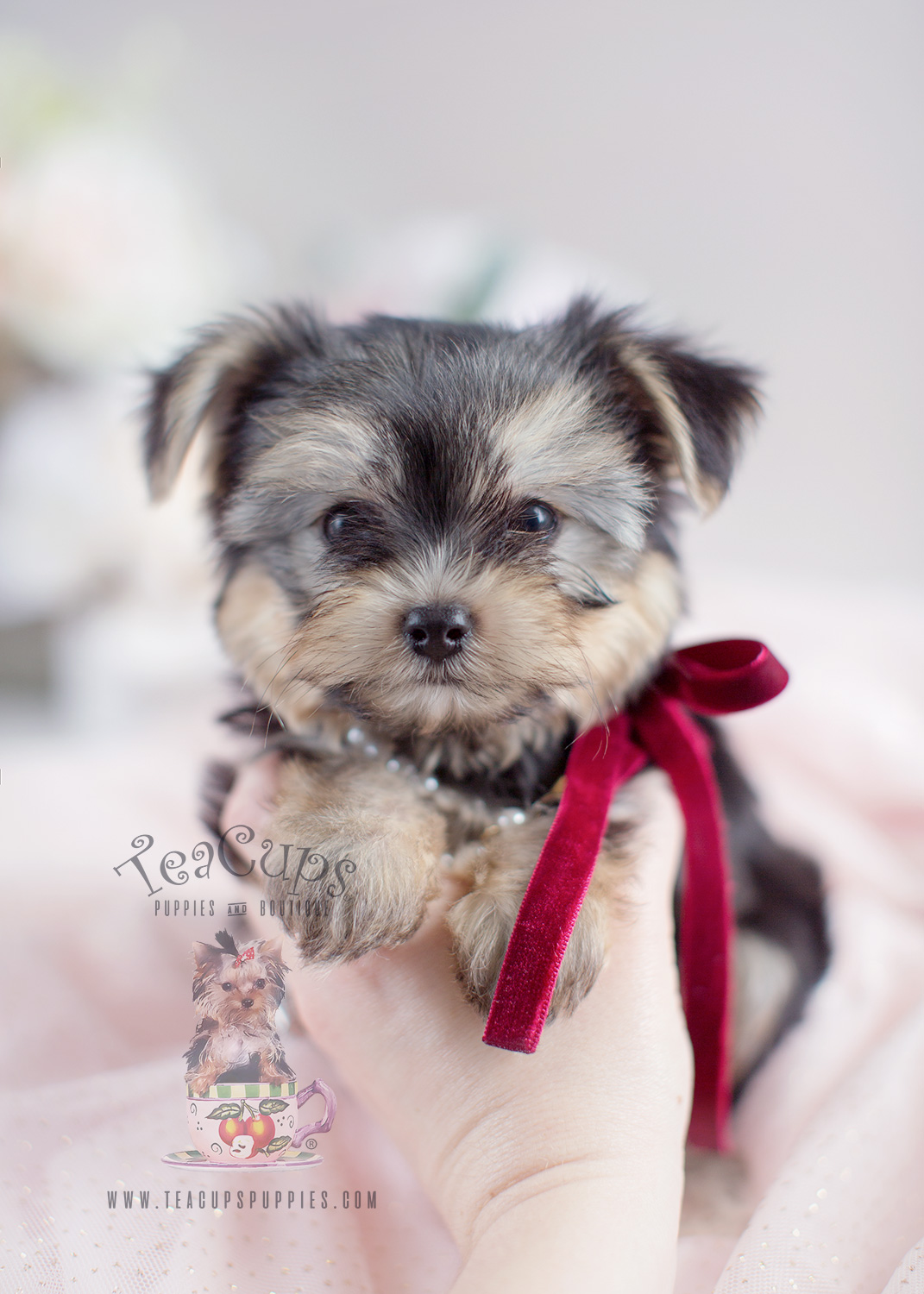 Morkie Puppy For Sale South Florida