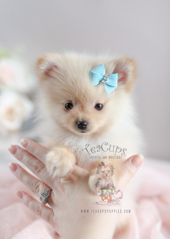 Teacup Pomeranian For Sale At South Florida Teacups