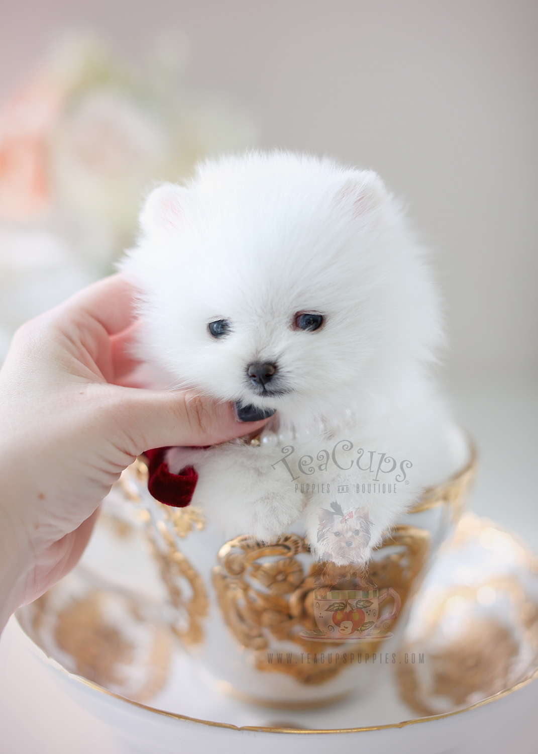 Purchase Toy Pom Puppies For Sale Up To 65 Off