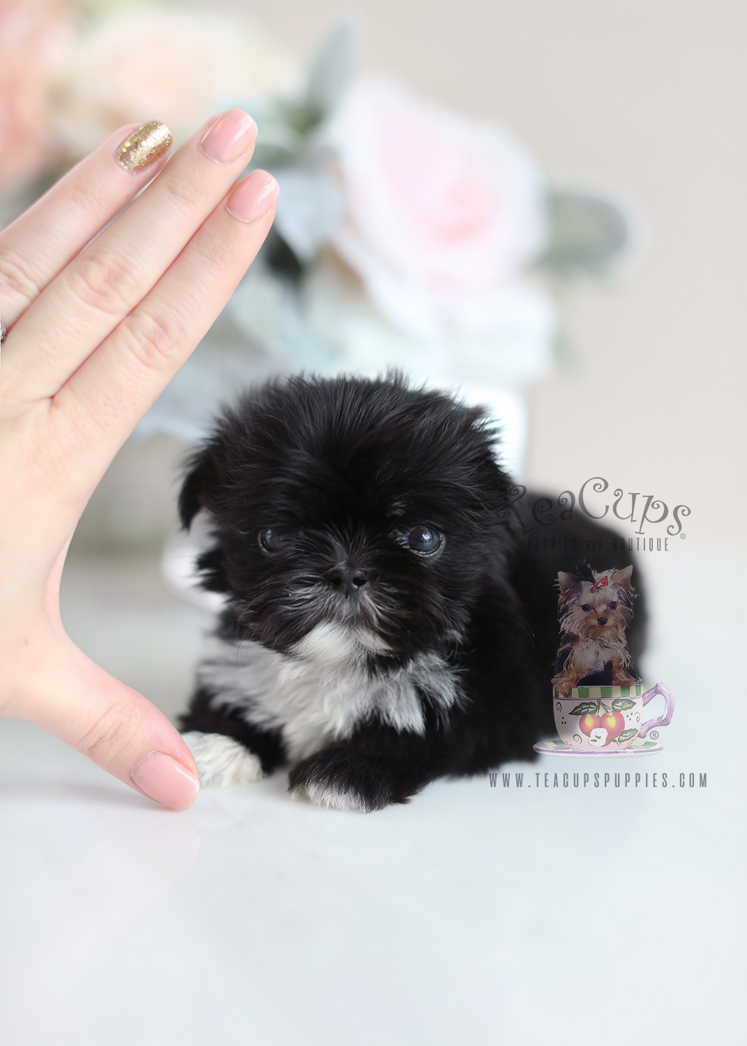 Tiny Shih Tzu Puppies For Sale