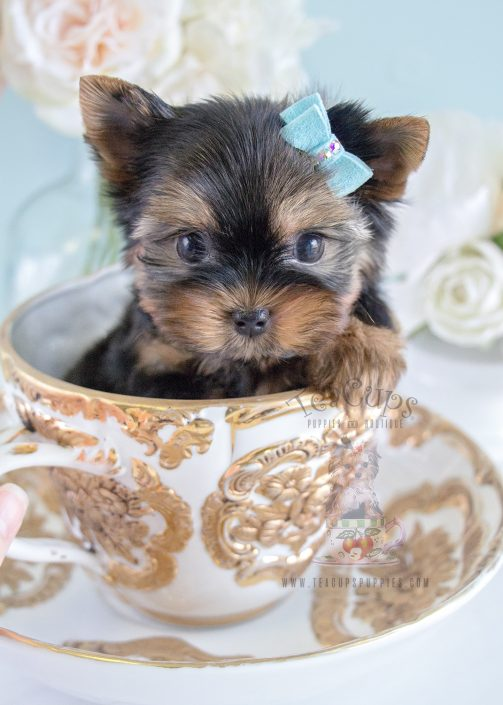Gorgeous Teacup Yorkie Puppy For Sale #224