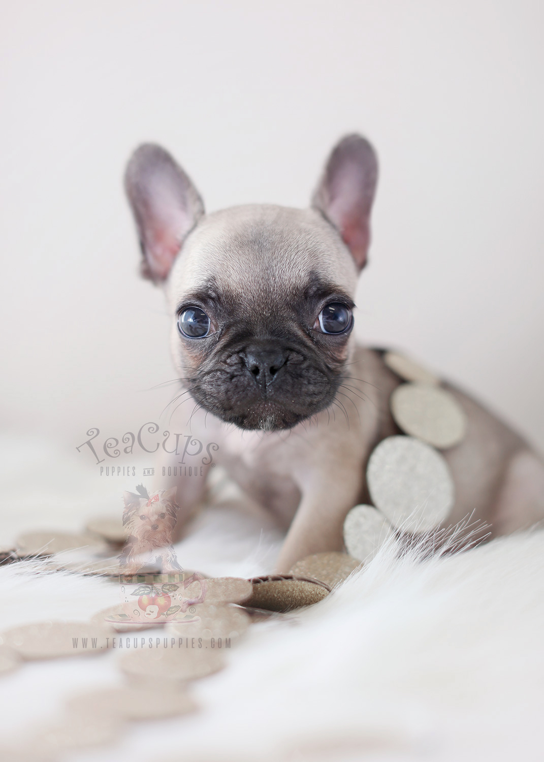 French Bulldog Puppies For Sale In The South Florida Area Teacups